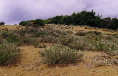 Fig. 6 Grey dunes with Coridothymus capitatus, an important nectar source for honey bees and basis for the well-known Thymeli honey in Greece