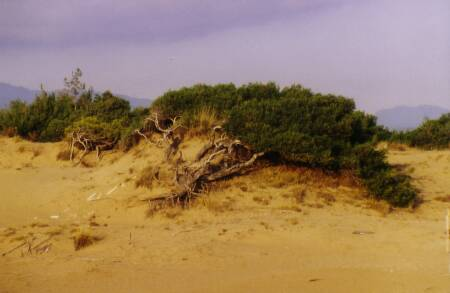 Fig. 8 Pinus halepensis in contact to the dune system