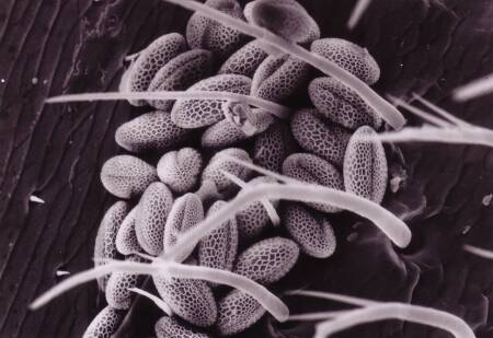 Fig. 3 Type of Brassicaceae (trizonocolpat: reticulat) (photo: electron microscope, 600 x enlargement, Erlinghagen 1991)